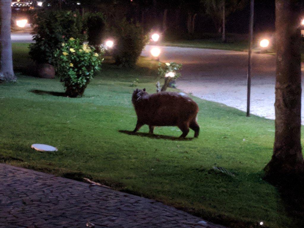 A capybara on a lawn